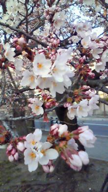 shibahuのブログ-桜